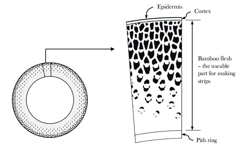 Section d'une tige de bambou - matériau à gradient naturel.